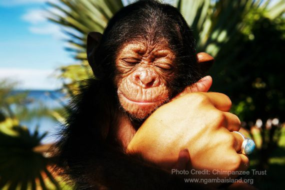 Friends of CSWCT | photo of Mr. Survivor, a baby chimpanzee at Ngamba Island Sanctuary in Uganda