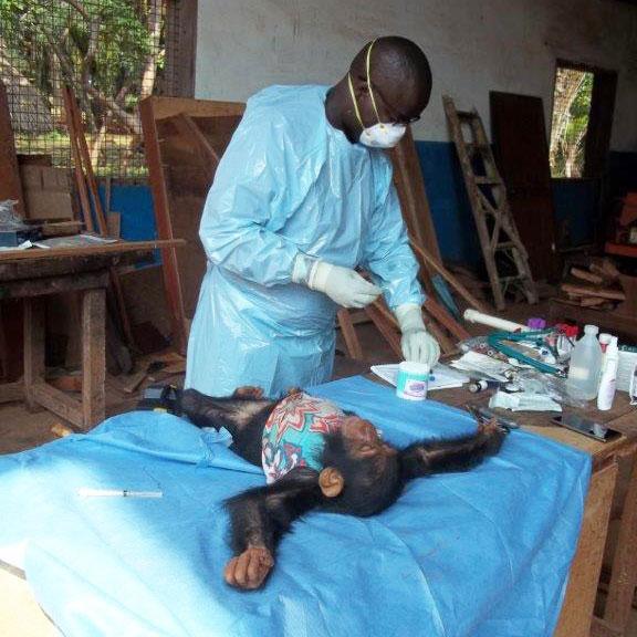 baby chimp health exam