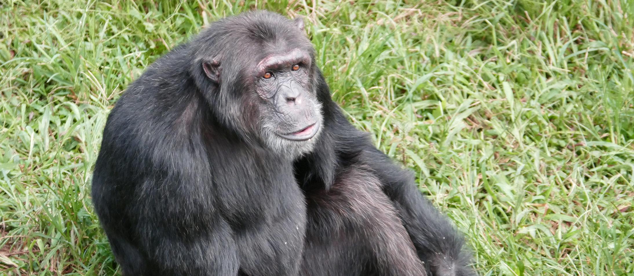 Friends of Chimps