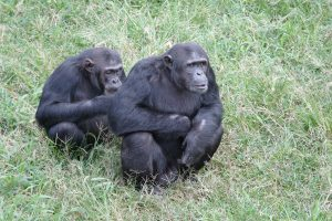Ngamba Island is home to 49 rescued chimpanzees. They have 95 acres of forest to range in daily and have a dedicated staff of caregivers and veterinarians taking care of them.