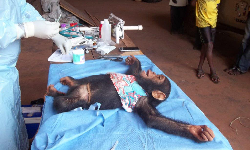 Help Us Bring 3 Baby Chimps to Ngamba - Friends of Chimps