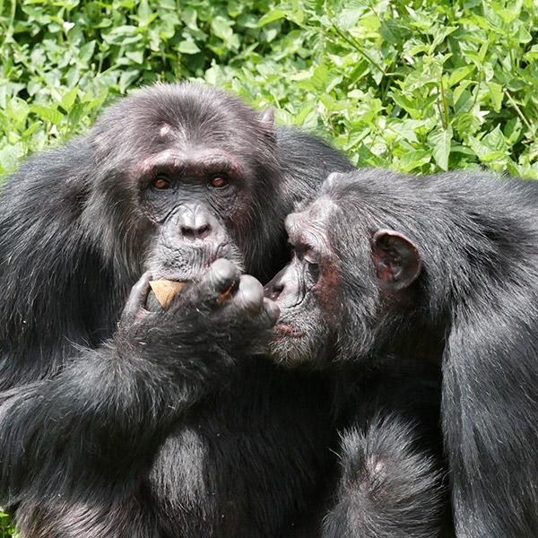 The Chimps Of Ngamba Island